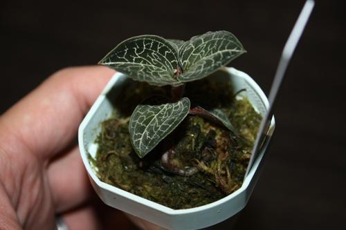 Anoectochilus formosanus アネクトキルス フォルモサーナス ジュエルオーキッド Jewel Orchid 東海 岐阜 熱帯魚 水草 観葉植物販売 Grow aquarium