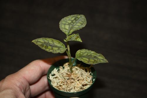 Cystorchis variegata シストーチス バリエガータ ジュエルオーキッド 東海 岐阜 熱帯魚 水草 観葉植物販売 Grow aquarium