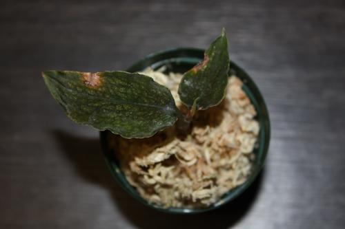 Cystorchis sp. (montana???) Kalimantan<br /> ジュエルオーキッド 東海 岐阜 熱帯魚 水草 観葉植物販売 Grow aquarium