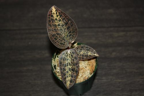 Macodes lowii シノニム Anoectochilus lowii ジュエルオーキッド Jewel Orchid 東海 岐阜 熱帯魚 水草 観葉植物販売 Grow aquarium