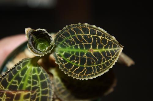 Macodes sanderiana マコデス サンデリアーナ ジュエルオーキッド 東海 岐阜 熱帯魚 水草 観葉植物販売 Grow aquarium