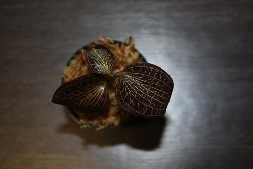 Anoectochilus sp. アネクトキルス アルボリネータスジュエルオーキッド Jewel Orchid 東海 岐阜 熱帯魚 水草 観葉植物販売 Grow aquarium