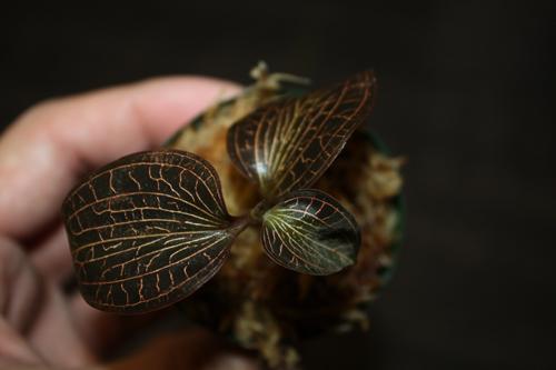 Anoectochilus sp. ジュエルオーキッド Jewel Orchid 東海 岐阜 熱帯魚 水草 観葉植物販売 Grow aquarium