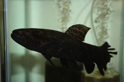 ブラックタライロン 東海 岐阜 熱帯魚 水草 観葉植物販売 Grow aquarium