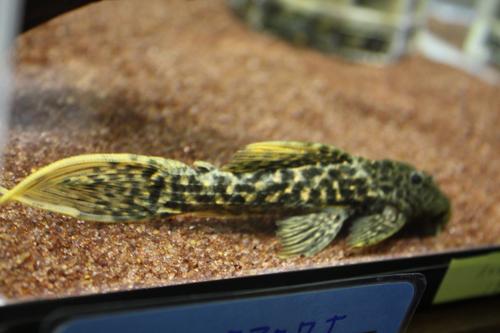 タイタニックトリムプレコ 東海 岐阜 熱帯魚 水草 観葉植物販売 Grow aquarium