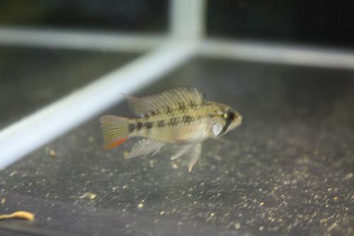 アピストグラマ ヴィエジタ 東海 岐阜 熱帯魚 水草 観葉植物販売 Grow aquarium