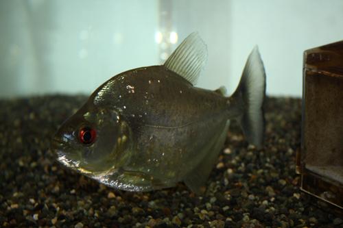 ダイアモンドブラックピラニア 東海 岐阜 熱帯魚 水草 観葉植物販売 Grow aquarium