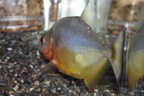 レッドルビーピラニア トカンチンス産 東海 岐阜 熱帯魚 水草 観葉植物販売 Grow aquarium