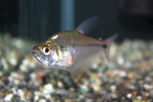 ダイアモンドカラックス 東海 岐阜 熱帯魚 水草 観葉植物販売 Grow aquarium