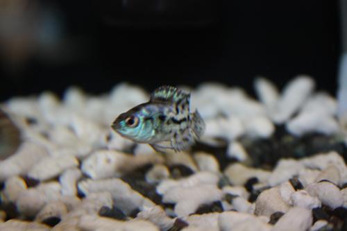 コバルトブルーデンプシー 東海 岐阜 熱帯魚 水草 観葉植物販売 Grow aquarium