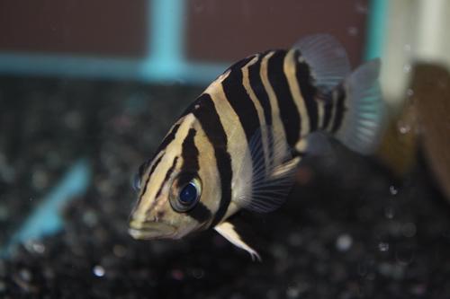 ダトニオプラスワン 東海 岐阜 熱帯魚 水草 観葉植物販売 Grow aquarium