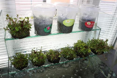 侘び草 有茎草MIX 東海 岐阜 熱帯魚 水草 観葉植物販売 Grow aquarium
