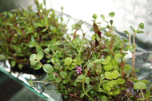 侘び草かれん 東海 岐阜 熱帯魚 水草 観葉植物販売 Grow aquarium