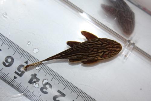 プラチナロイヤルプレコ① 東海 岐阜 熱帯魚 水草 観葉植物販売 Grow aquarium