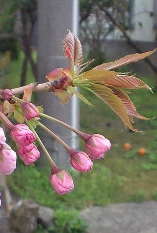 散歩桜JPG