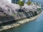 いや~桜が見事ナリ~
