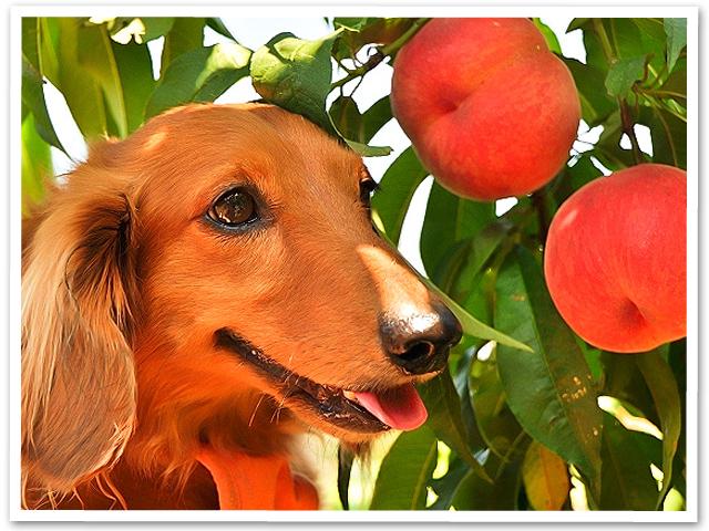 山梨で桃狩り