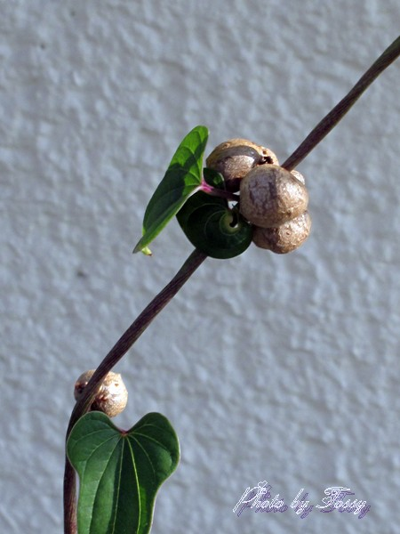 ヤマイモのムカゴ2