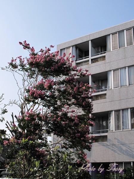 サルスベリの大木1