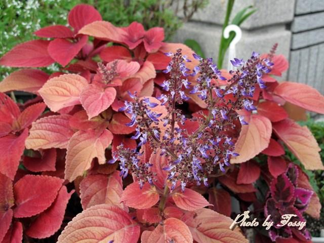 コリウスの花3