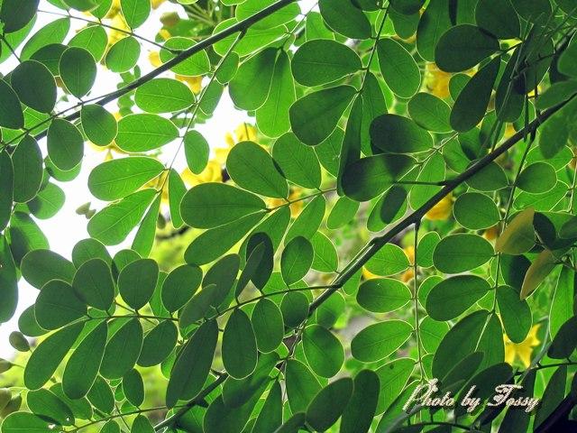 コバノセンナ 葉