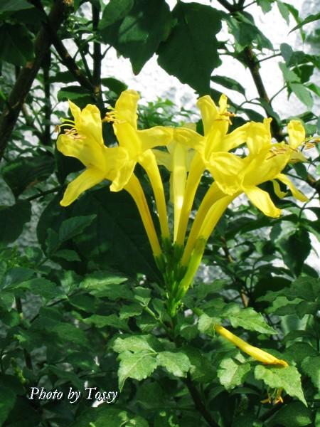 ヒメノウゼンカズラ 黄色2