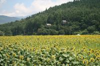 向日葵畑全景