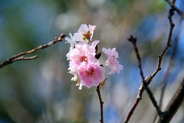 十月桜(じゅうがつざくら)(32146 byte)