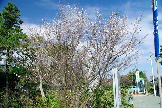 十月桜(じゅうがつざくら)(95237 byte)