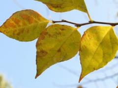 エゴノキの紅葉