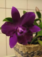 レリオカトレア「Mini Purple」