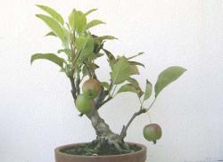 090920姫リンゴ
