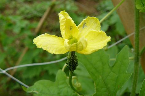 ゴーヤの花 ♀