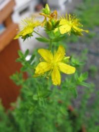 セントジョーンズワートの花
