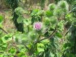 08ゴボウの花