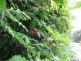 iコバノガマズミの生垣
