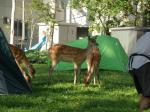 キャンプ場に鹿