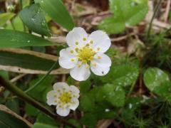 千頭星山周辺の花