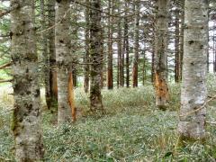 熊や鹿の食害にあった木々