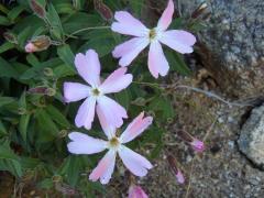 観音岳周辺の花