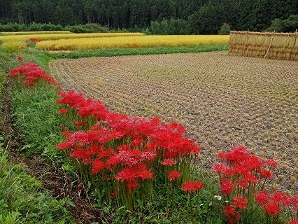 2009.9.大和須彼岸花068-1