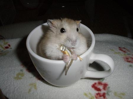 コーヒーカップハムスター