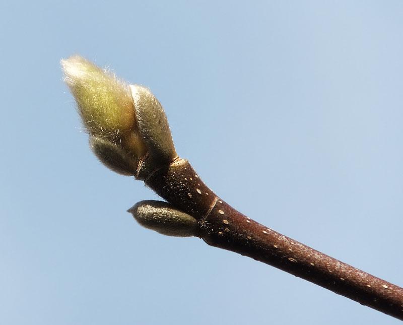 120128辛夷の冬芽