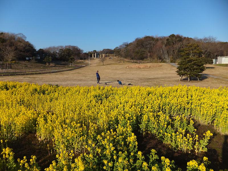 120212観音崎菜の花1
