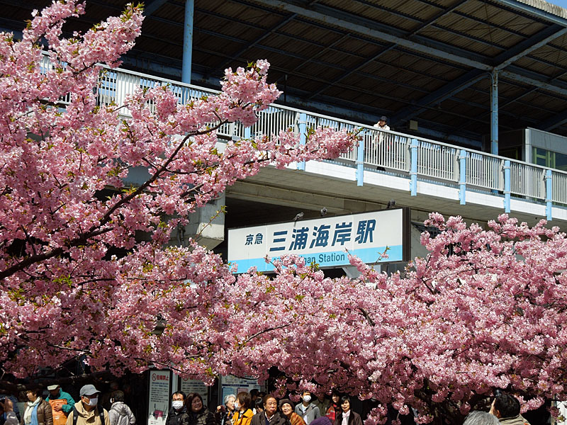 120320河津桜1