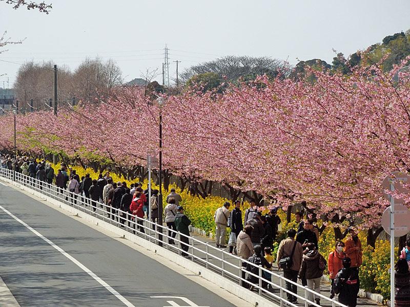 120320河津桜7