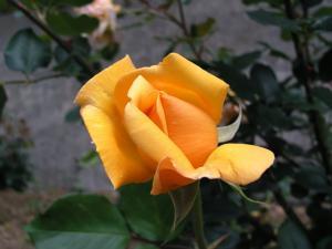 rose_010.jpg