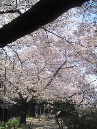 千鳥ヶふち 桜