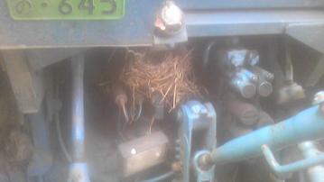ハクセキレイの巣