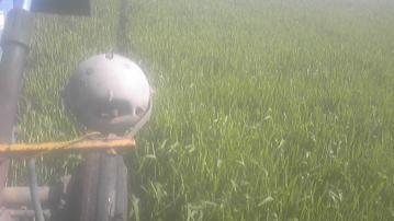 小麦1回目出穂
